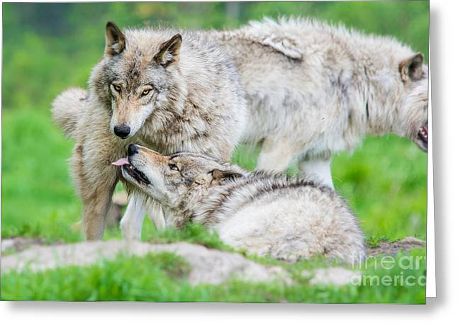 Hairy Wolf Greeting Cards - Submission Greeting Card by Cheryl Baxter