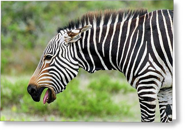 Submissive Cape Mountain Zebra Greeting Card by Peter Chadwick