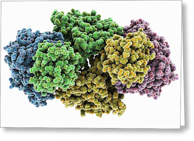 Metabolism Greeting Cards - Succinyl-CoA synthetase enzyme Greeting Card by Science Photo Library