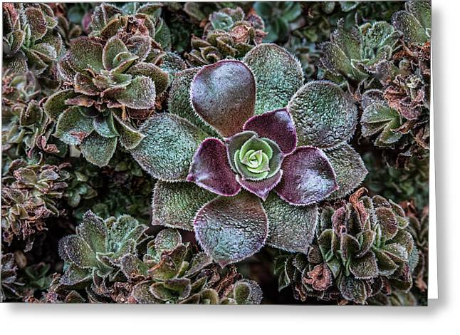Rosette Greeting Cards - Succulent Art Greeting Card by Dale Kincaid