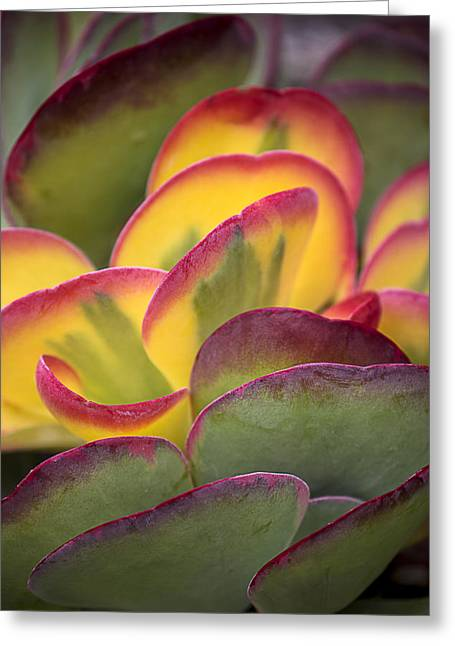 Succulents Greeting Cards - Succulent light Greeting Card by Garry Gay