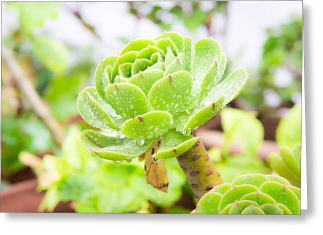Singular Greeting Cards - Succulent Greeting Card by Tom Gowanlock