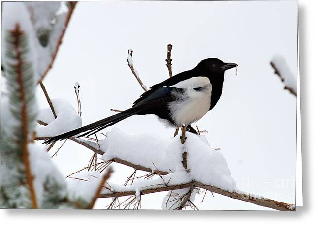 Magpies. Snow Greeting Cards - Suddenly Spring Greeting Card by Jim Garrison
