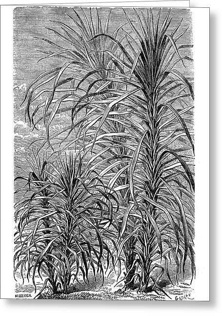Sugar Cane Experiment Greeting Card by Science Photo Library