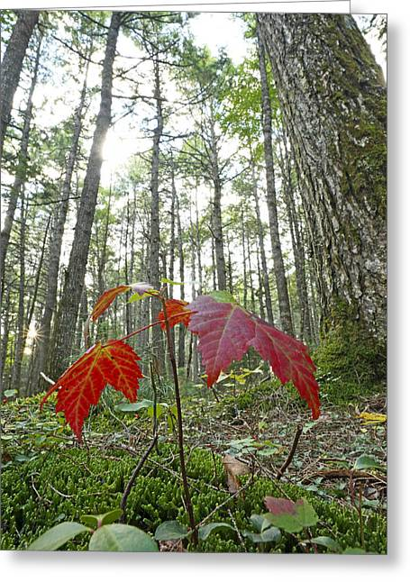 Pinaceae Greeting Cards - Sugar Maple In Old-growth Canadian Greeting Card by Scott Leslie