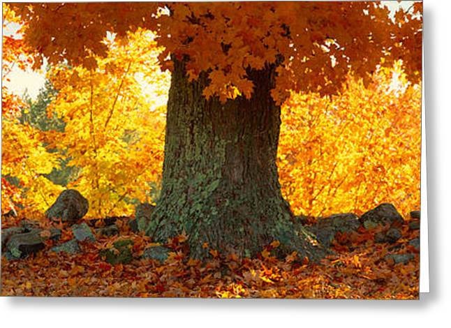 Sugar Maple Greeting Cards - Sugar Maple Tree In Autumn, Peacham Greeting Card by Panoramic Images