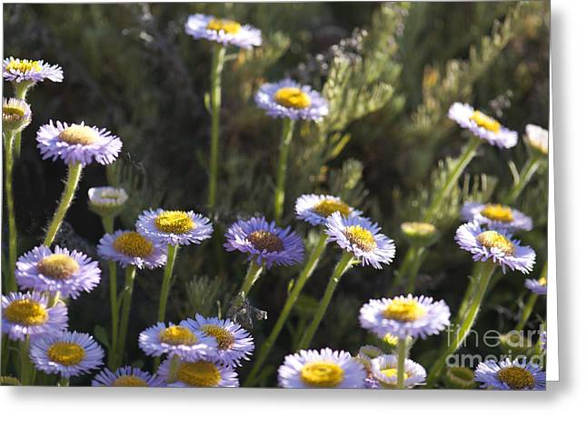 Suisun Marsh Aster in the Morning Light Greeting Card by Artist and Photographer Laura Wrede