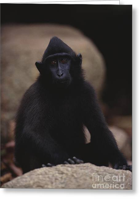 Sulawesi Greeting Cards - Sulawesi Crested Macaque Greeting Card by Art Wolfe