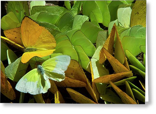 Sulfur Butterflies On Mineral Lick Greeting Card by Pete Oxford