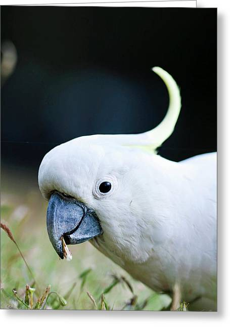 Sulfur-crested Cockatoo (cacatua Greeting Card by Martin Zwick