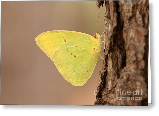 Eve Wheeler Greeting Cards - Sulphur Butterfly H-1 Greeting Card by Eve Wheeler