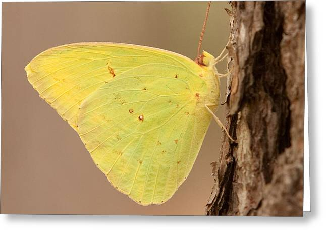 Eve Wheeler Greeting Cards - Sulphur Butterfly S-1 Greeting Card by Eve Wheeler