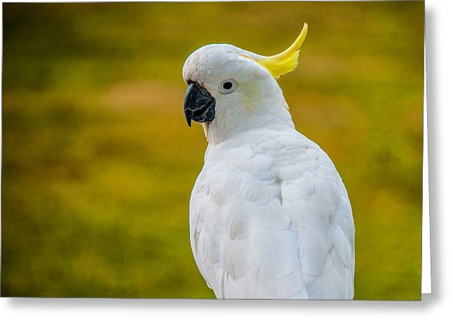 Pretty Cockatoo Greeting Cards - Sulphur-crested Cockatoo Greeting Card by Harry Spitz