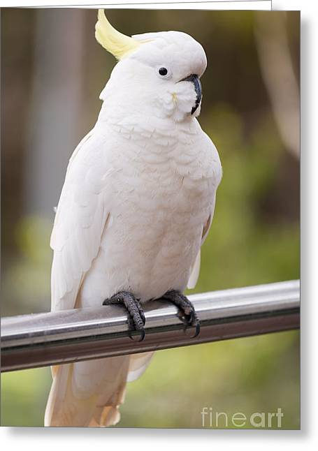 Pretty Cockatoo Greeting Cards - Sulphur Crested Cockatoo Greeting Card by Tim Hester