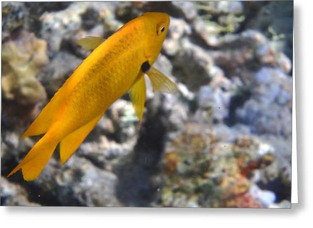 Underwater Photos Greeting Cards - Sulphur Damsel in the Red Sea  Greeting Card by Johanna Hurmerinta