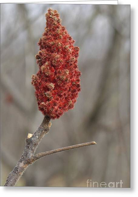 Photography By Govan. Vertical Format Greeting Cards - Sumac Seeds Greeting Card by Andrew Govan Dantzler