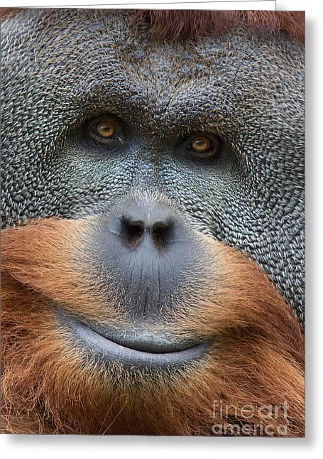 Sumatra Orangutan Greeting Card by Jerry Fornarotto