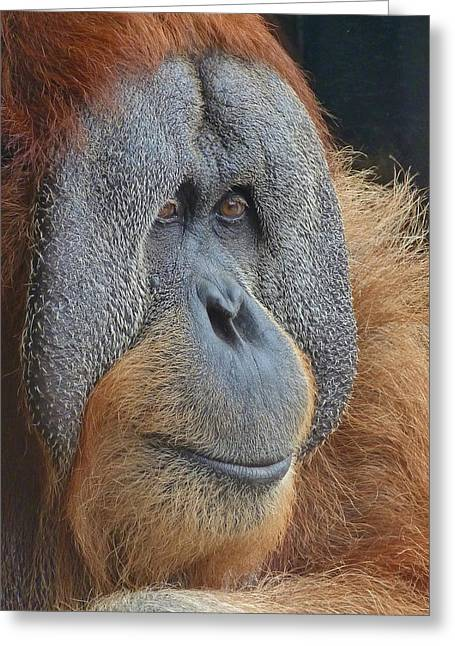Sumatran Orang-utan Greeting Cards - Sumatran Orangutan Deep In Thought Greeting Card by Margaret Saheed