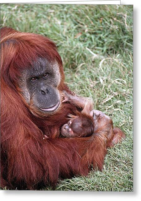 Sumatran Orang-utan Greeting Cards - Sumatran Orangutan Mother Holding Baby Greeting Card by San Diego Zoo
