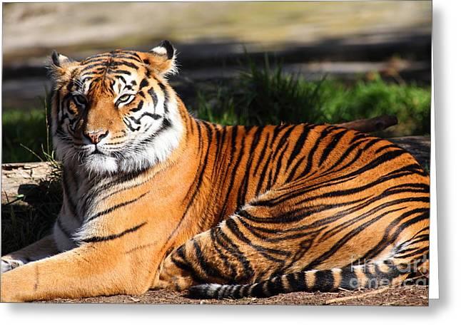 The Tiger Greeting Cards - Sumatran Tiger 5D27142 Greeting Card by Wingsdomain Art and Photography