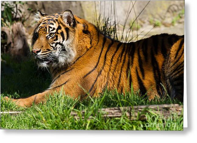 Pussy Greeting Cards - Sumatran Tiger 7D9084 Greeting Card by Wingsdomain Art and Photography