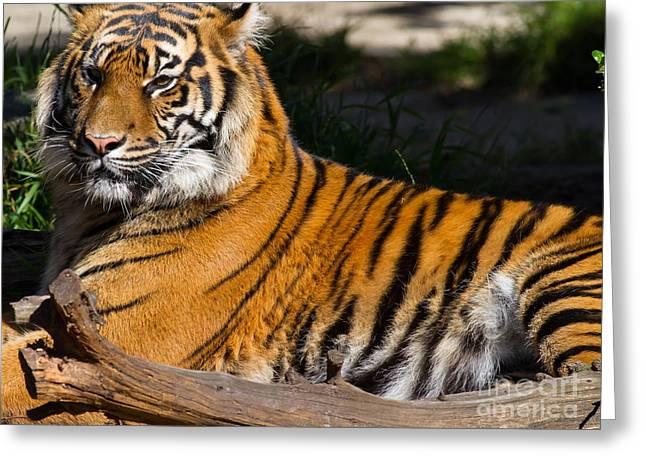 The Tiger Greeting Cards - Sumatran Tiger 7D9105 Greeting Card by Wingsdomain Art and Photography