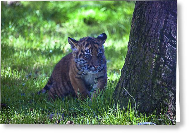 Cute Kitten Greeting Cards - Sumatran Tiger Cub Greeting Card by Garry Gay