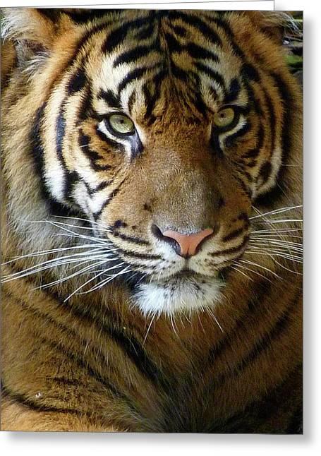 Saheed Greeting Cards - Sumatran Tiger Junior Greeting Card by Margaret Saheed