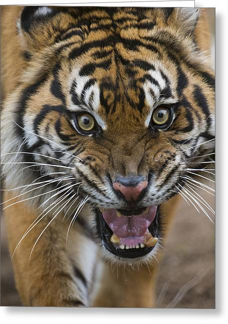 Sumatran Tiger Male Snarling Native Greeting Card by San Diego Zoo