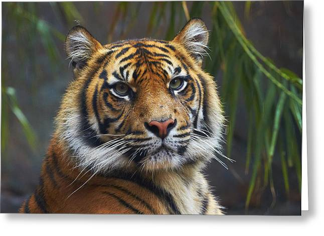 Sumatran Tiger Greeting Card by Martin Willis