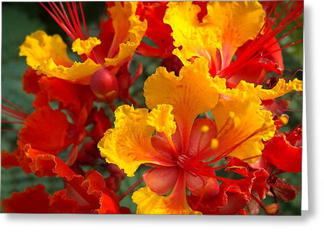 Nature Greeting Cards - Mexican Bird Of Paradise Greeting Card by Mona Stut