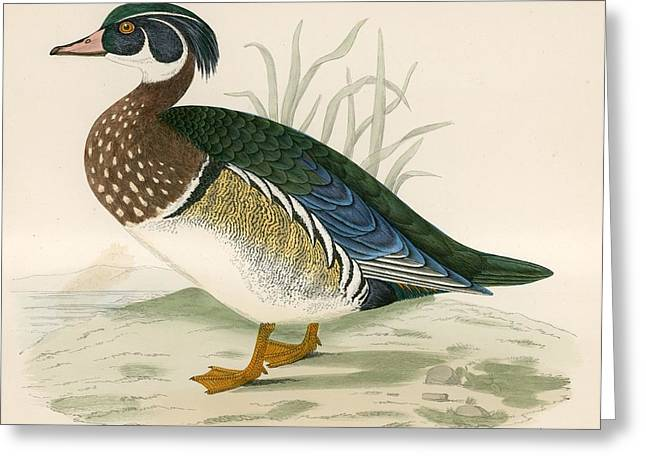 Hunting Bird Greeting Cards - Summer Duck Greeting Card by Beverley R. Morris