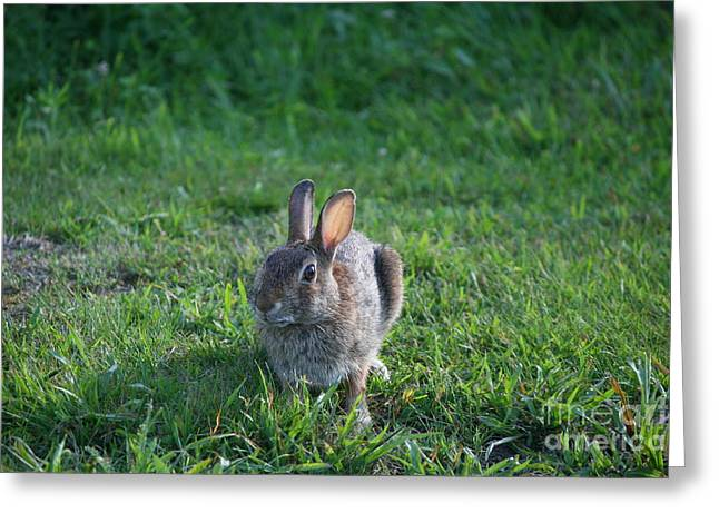 Beauty In Nature Greeting Cards - Summer Eastern Cottontail   Greeting Card by Neal  Eslinger