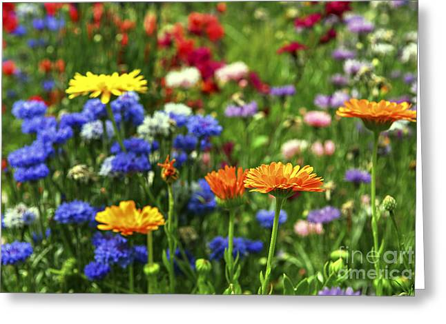 Summer Flowers Greeting Card by Elena Elisseeva
