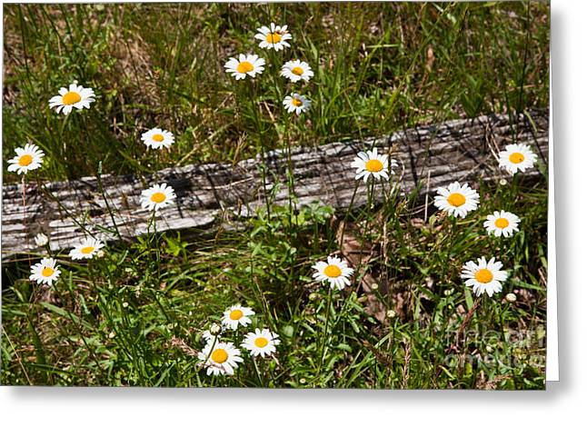 Paint Photograph Greeting Cards - Summer Flowers on the Blue Ridge Parkway 7653 Greeting Card by Dan Carmichael