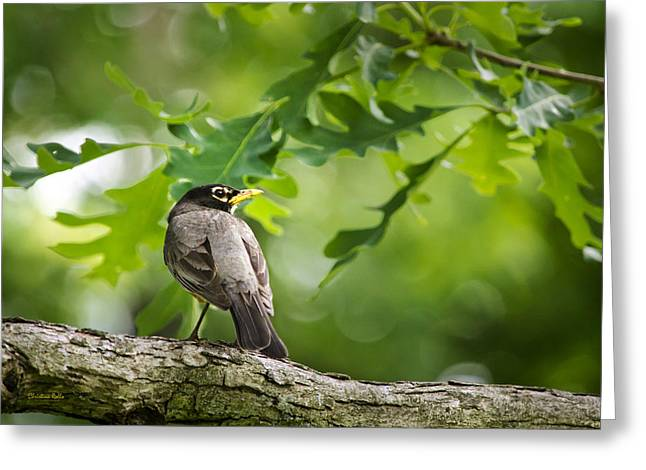 American Robin Greeting Cards - Summer Robin Greeting Card by Christina Rollo