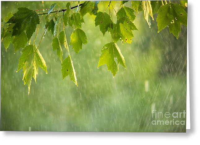 Maple Tree. New England Greeting Cards - Summer Shower Greeting Card by Diane Diederich