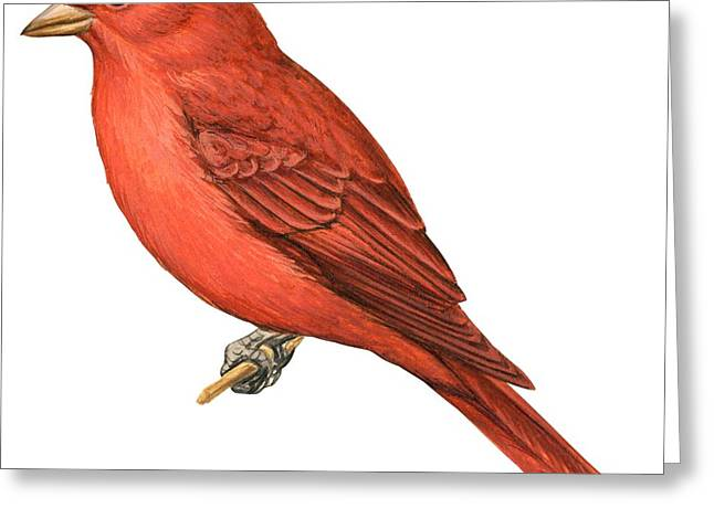 Zoology Greeting Cards - Summer tanager  Greeting Card by Anonymous