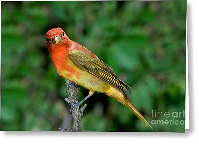 Morph Greeting Cards - Summer Tanager Changing Color Greeting Card by Anthony Mercieca