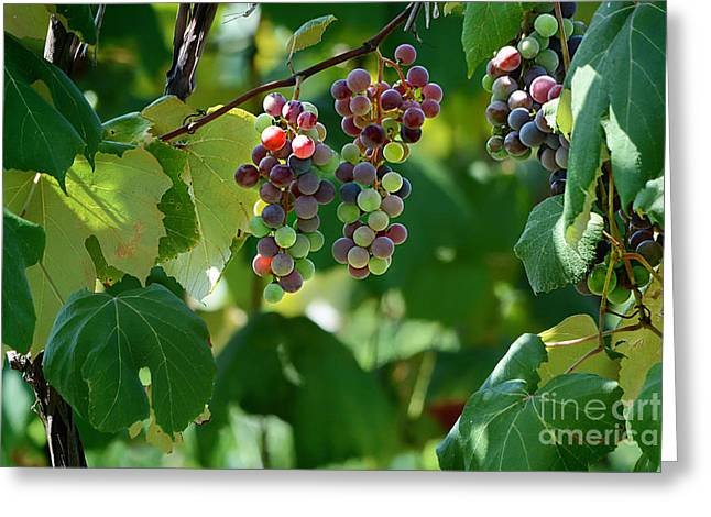 Grape Vineyard Greeting Cards - Summertime Grape Harvest Greeting Card by Nava  Thompson