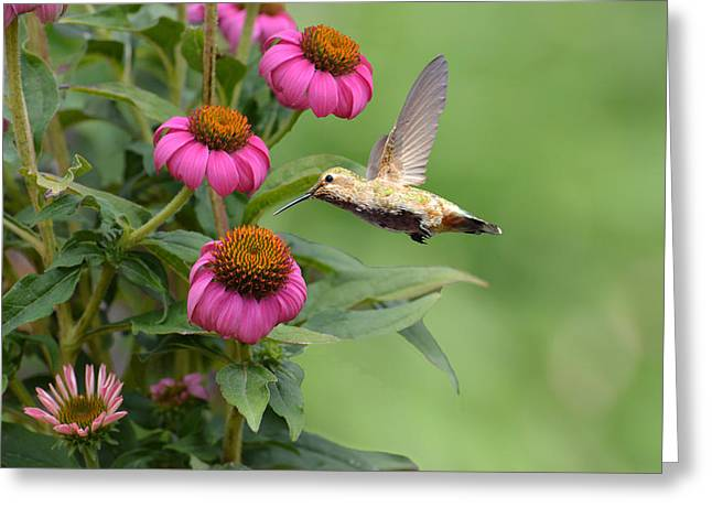 Hovering Greeting Cards - Summertime Hummer Greeting Card by Lynn Bauer