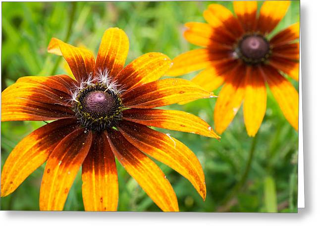 Wisconsin Wildflowers Greeting Cards - Sun and Stars Greeting Card by Bill Pevlor