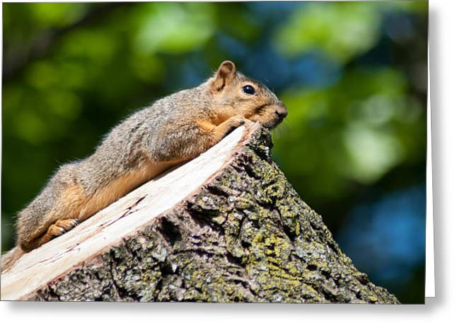 Eastern Fox Squirrel Greeting Cards - Sun Basking  Greeting Card by Optical Playground By MP Ray
