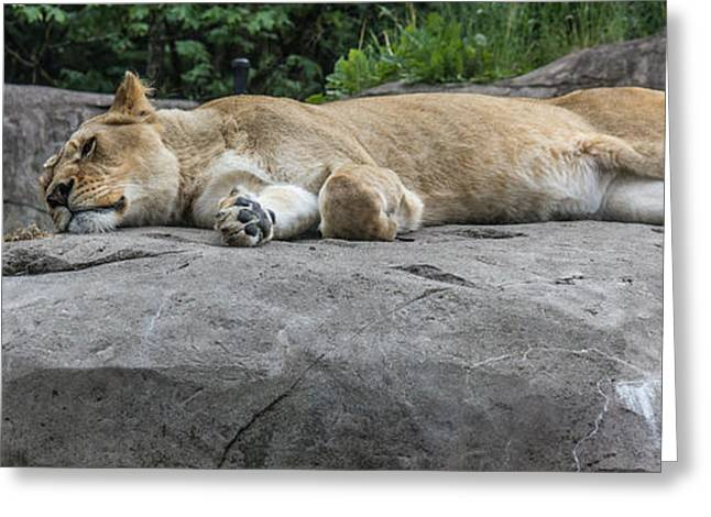 Lioness Greeting Cards - Sun Bather Greeting Card by Suzanne Luft
