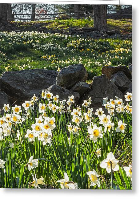 Daffodil Greeting Cards - Sun Dance Square Greeting Card by Bill  Wakeley