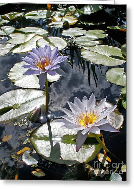 White Waterlily Greeting Cards - Sun-drenched Lily Pond         Greeting Card by Kaye Menner