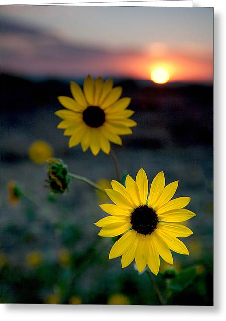Flowers Photographs Greeting Cards - Sun Flower 1 Greeting Card by Peter Tellone