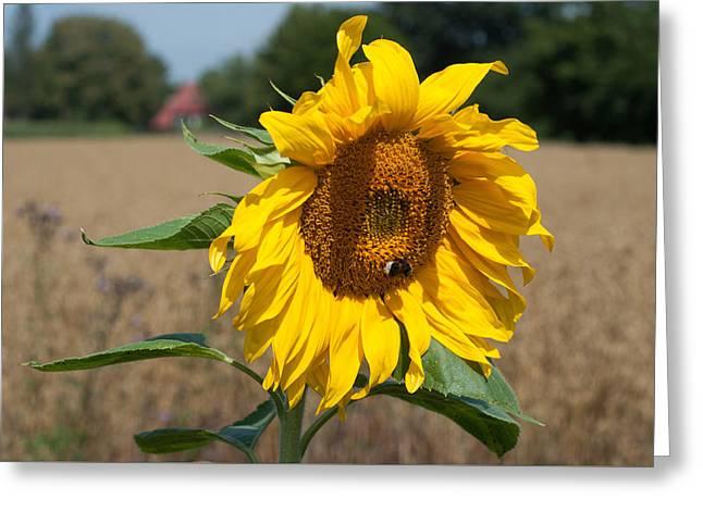 Sun Flower Fields Greeting Card by Miguel Winterpacht