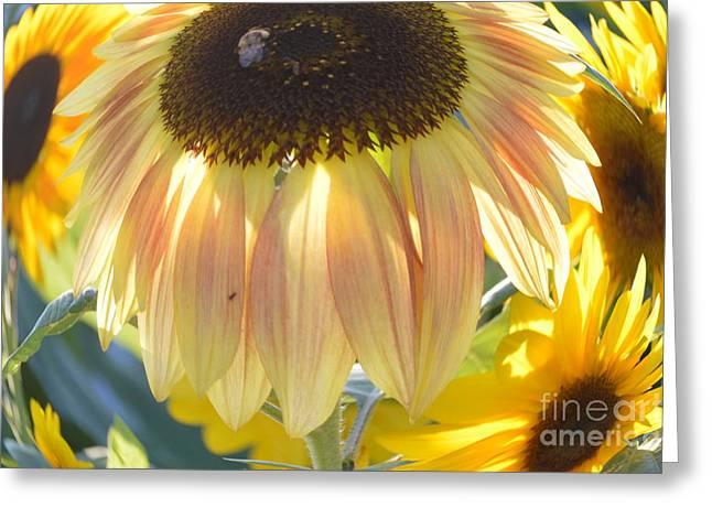 Julie Hodgkins Greeting Cards - Sun Flower Greeting Card by Julie Hodgkins