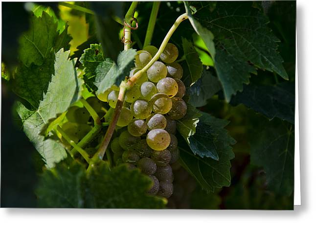 Concord Grapes Greeting Cards - Sun Kissed Grapes Greeting Card by Linda Muir